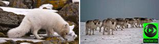 Arktyczna tundra zrzuca białą szatę
