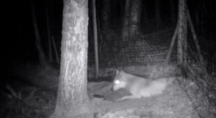 Stado danieli z prywatnej hodowli zostało zaatakowane przez watahę wilków
