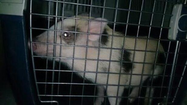 Znaleziona świnka przez Eko Patrol straż miejska