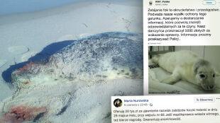 Pięć martwych fok na polskim wybrzeżu. Kolejne nagrody za wskazanie sprawców