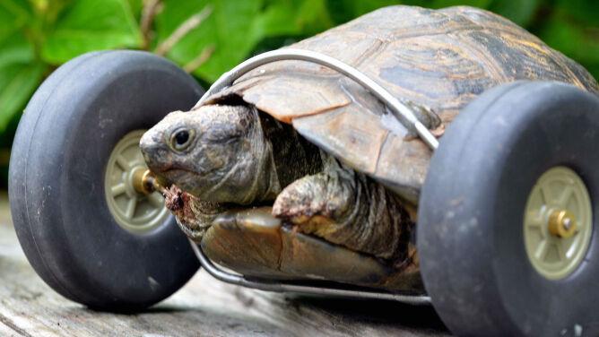 Poznajcie Panią T, żółwicę na kółkach