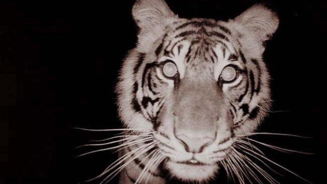 Zginęła samica jednego z najrzadszych tygrysów. Wpadła w sidła na dziką świnię