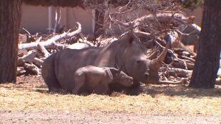 Rihanna urodziła po raz trzeci. Zoo świętuje narodziny nosorożca